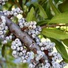 20+ Myrica Cerifera (Wax Myrtle Southern) seeds