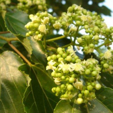 100+ Hovenia Dulcis (Japanese Raisin tree) seeds