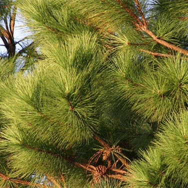 15+ Pinus Taeda (Loblolly Pine) seeds