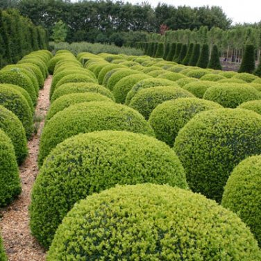 10+ Buxus Sempervirens ( Boxwood, American Boxwood ) seeds
