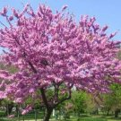 10+ Cercis Canadensis ( Northern Redbud ) seeds