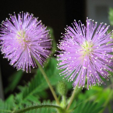 25+ Mimosa Pudica ( Sensitive Plant ) seeds