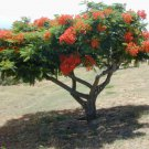 10+ Delonix Regia ( Royal Poinciana ) seeds