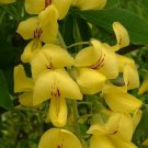 100+ Laburnum Anagyroides ( Golden Chain tree ) seeds