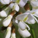 50+ Robinia Pseudoacacia ( Black Locust ) seeds