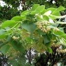 20+ Tilia Tomentosa ( Silver Linden ) seeds