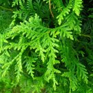 25+ Thuja Occidentalis ( Northern White Cedar ) seeds