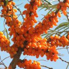 25+ Hippophae Rhamnoides ( Sea Buckthorn ) seeds