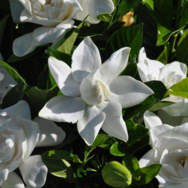 15+ Gardenia Jasminoides ( Cape Jasmine ) seeds
