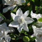 25+ Gardenia Jasminoides ( Cape Jasmine ) seeds