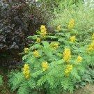 10+ Cassia Marilandica ( Indian Senna ) seeds