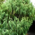 25+ Cupressus Torulosa ( Himalayan Cypress ) seeds
