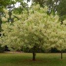 20+ Chionanthus Virginicus ( White Fringe tree ) seeds