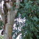100+ Eucalyptus Camaldulensis ( Red River Gum ) seeds