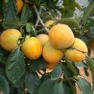 5 Diospyros Kaki ( Date Plum Persimmon ) seeds
