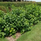 10+ Calycanthus Floridus ( Strawberry Shrub ) seeds
