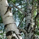 100+ Betula Pendula / Verrucosa ( European White Birch ) seeds