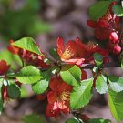 10+ Chaenomeles Speciosa ( Flowering Japanese Quince ) seeds