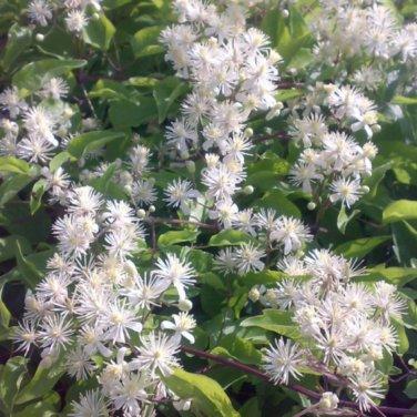 20+ Clematis Vitalba ( Traveller�s Joy / Old Man's Beard ) seeds