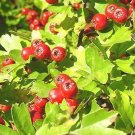 20+ Crataegus Phaenopyrum ( Washington Hawthorn ) seeds