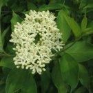 25+ Cornus Amomum ( Silky Dogwood ) seeds