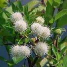 10+ Cephalanthus Occidentalis ( Button Bush ) seeds