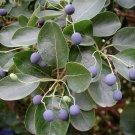 10+ Chionanthus Retusus ( Fringe Tree ) seeds