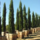 25+ Cupressus Sempervirens ( Italian Cypress ) seeds