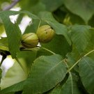 2 Carya Laciniosa ( Shellbark Hickory ) seeds