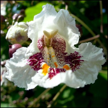 30+ Catalpa Speciosa ( Northern catalpa ) seeds