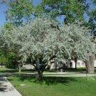 10+ Elaeagnus Angustifolia ( Silverberry ) seeds
