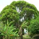 15+ Cinnamomum Camphora ( Camphortree ) seeds