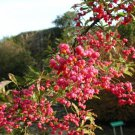 25+ Euonymus Europaeus ( European Spindle Tree ) seeds