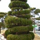 15+ Juniperus Chinensis ( Chinese Juniper ) seeds
