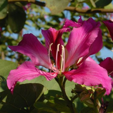 10+ Bauhinia Purpurea ( Butterfly/Orchid Tree ) seeds