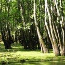 6+ Nyssa Aquatica ( Swamp Tupelo ) seeds