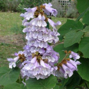 100+ Paulownia Fortunei ( Fortune Tree ) seeds