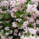 10+ Kolkwitzia Amabilis ( Beauty Bush ) seeds