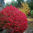 20+ Euonymus Alatus ( Burning Bush ) seeds