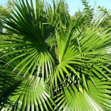 5+ Livistonia Chinensis ( Chinese Fan Palm ) seeds