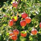 15+ Malus Pumila ( Fiji Apple ) seeds