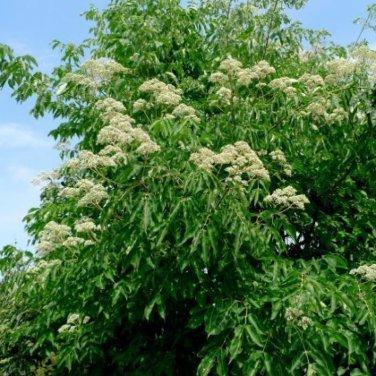 20+ Evodia Hupehensis ( Bee Tree ) seeds