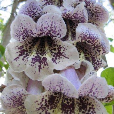 100+ Paulownia Catalpifolia ( Paulownia Tree ) seeds