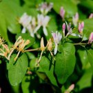 20+ Lonicera Tatarica ( Tatarian Honeysuckle ) seeds