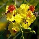 20+ Parkinsonia Aculeata ( Jerusalem Thorn ) seeds
