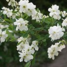 20+ Exochorda Racemosa ( Pearlbush ) seeds