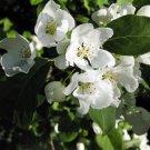 20+ Malus Baccata Mandshurica ( Manchurian Siberian Apple ) seeds