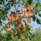 10+ Koelreuteria Paniculata ( Golden Rain Tree ) seeds