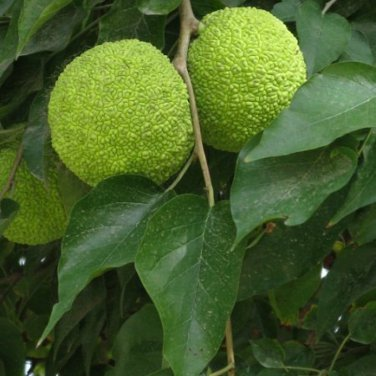 10+ Maclura Pomifera ( Osage Orange ) seeds