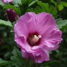 50+ Hibiscus Syriacus ( Rose Of Sharon ) seeds